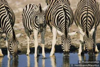 Zebras at the water's edge