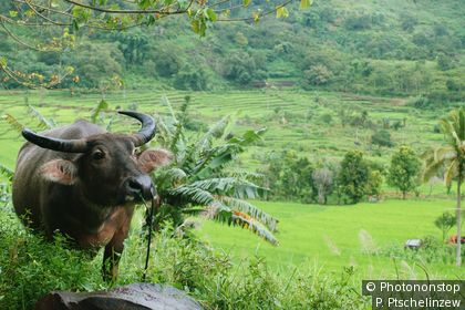 Buffalo in the paddy fields of Flores