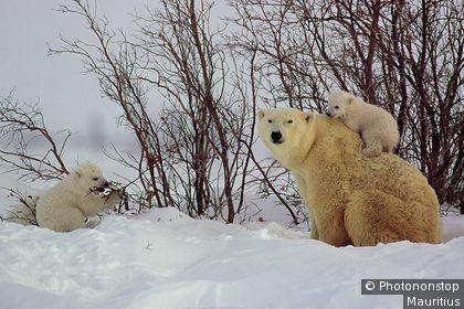 Famile d'ours dans le parc national de Wapusk