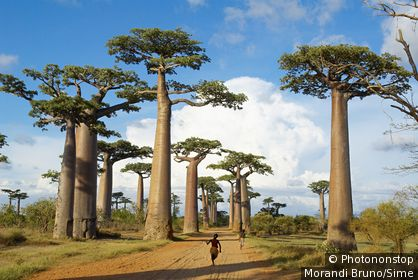 Madagascar, Toliara - Baobab trees