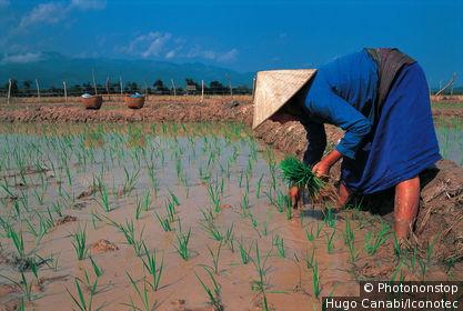 Laos, Muang Sing, rizière
