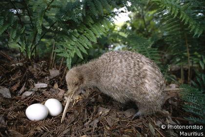 Neuseeland, Waldboden, Streifenkiwi, Apteryx australis, Gelege, Eier Nordinsel, Tierwelt, Tier, Vogel, Laufvogel, Schnepfenstrauß, Kiwi, Nest, Kiwi-Eier, nachtaktiv, Artenschutz, Brown Kiwi
