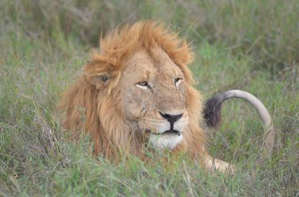 Serengeti, Male lion doing what male lions does best - relaxing