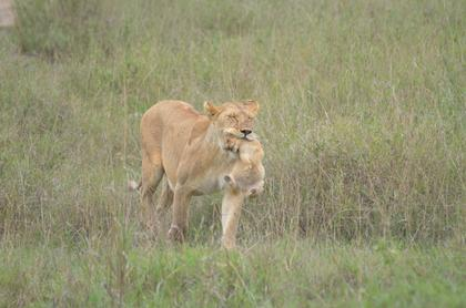 Serengeti - Lion carrying her cub to safety