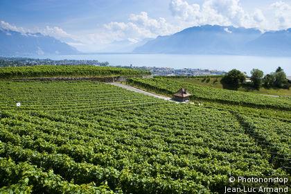 Suisse, canton de Vaud, vignoble au-dessus de Vevey, le lac Léman en arrière-plan