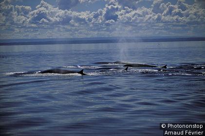Canada, Québec, Tadoussac, groupe de baleines dans le fleuve St-Laurent, ciel chargé de nuages