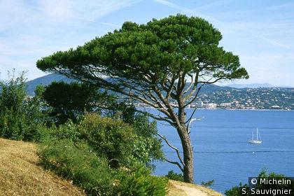 Pin Parasol et golfe de Saint-Tropez