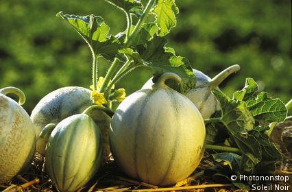 84. Gros plan sur melons de Cavaillon sur paille en extérieur, fleurs et feuilles