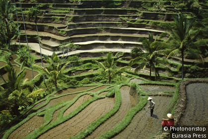Indonesia, Bali, Ubud / Rice Terraces