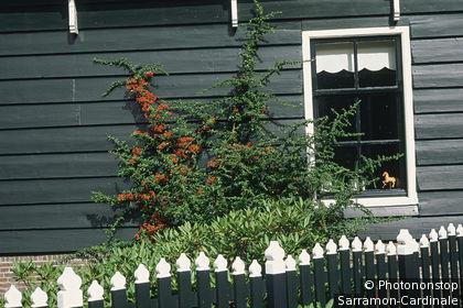Hollande, Broek in V., détail façade en bois d'une maison, peinte en vert, fenêtre, buisson verdoyant avec baies rouges contre mur, barrière