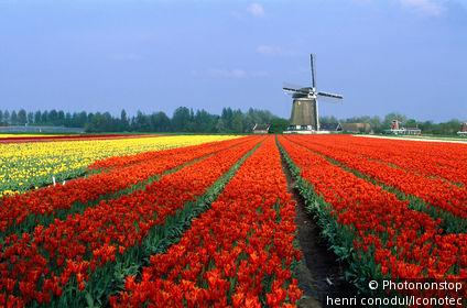Pays-Bas, Hollande Méridionale, Lisse, Champ de tulipes et moulin