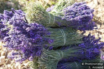 Plateau d'Albion, Lavendelfeld im Sommer
