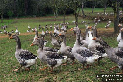 Geese in Périgord Noir