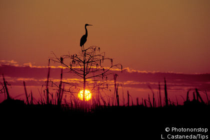 Heron in Everglades National Park, Florida