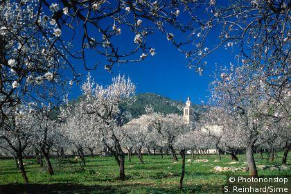 Amandiers en fleurs sur l'île de Majorque