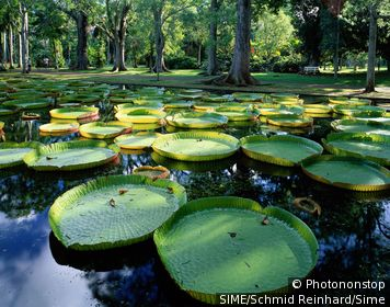 Mauritius / Mauritius island / Pamplemousses / Water lilies (Victoria regia) in botanical garden