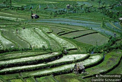 Indonésie, Bali, rizières à Tirtagangga