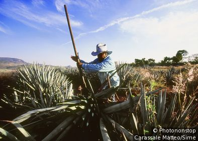 Mexique, Jalisco, Tequila - Field of blue Agave, Tequila plant