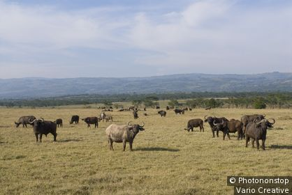 herd of African Buffalo, Syncerus caffer, NAKURU NATIONAL PARK, KENYA, EAST Africa