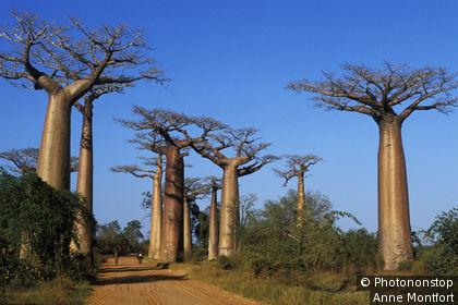 Madagascar, Ouest, région de Morondava, allée des baobabs ('Adansonia grandidieri'), ciel bleu