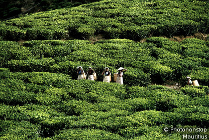 Sri Lanka, Badulla, plantation de thé