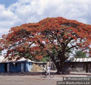 Tanzania;Arusha;Magugu - The beautiful red blossom of a Flamboyant tree (Delonix regia) at a small roadside centre in Northern Tanzania. A native of Madagascar, people in the Arusha region call it the 'Christmas Tree' since it flowers each year  [...]