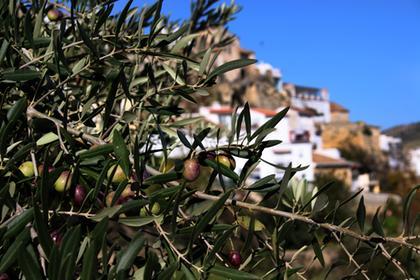 Alhama de Granada´s Olives