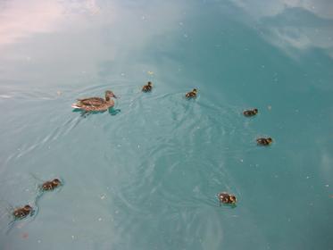 Canards sur le lac de Bled