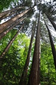 Les séquoias du Gouffre d'enfer