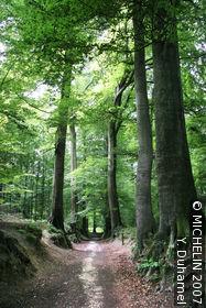 Soignes Forest