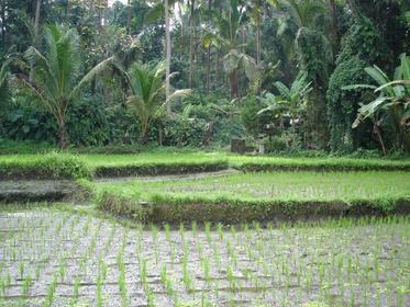 Rizières dans les environs de Ubud
