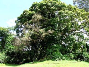 nahampoana manguier