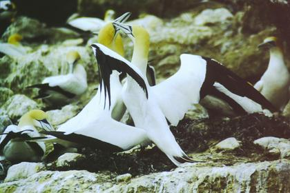 Gannets welcome