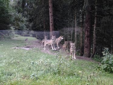 Alpha Wolf Park