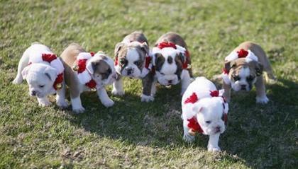 The Citadel Bulldogs puppies