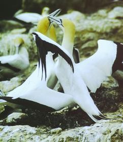 Loving Gannets