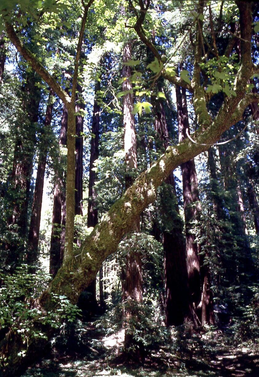 El Camino College >> Monumento Nacional Muir Woods - turismo Mill Valley ...